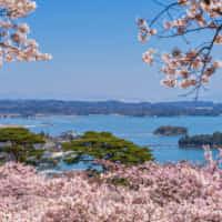 西行戻しの松 桜