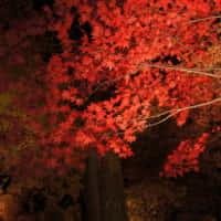 松島の紅葉ライトアップ