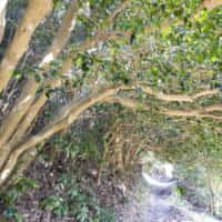 野々島 椿トンネル